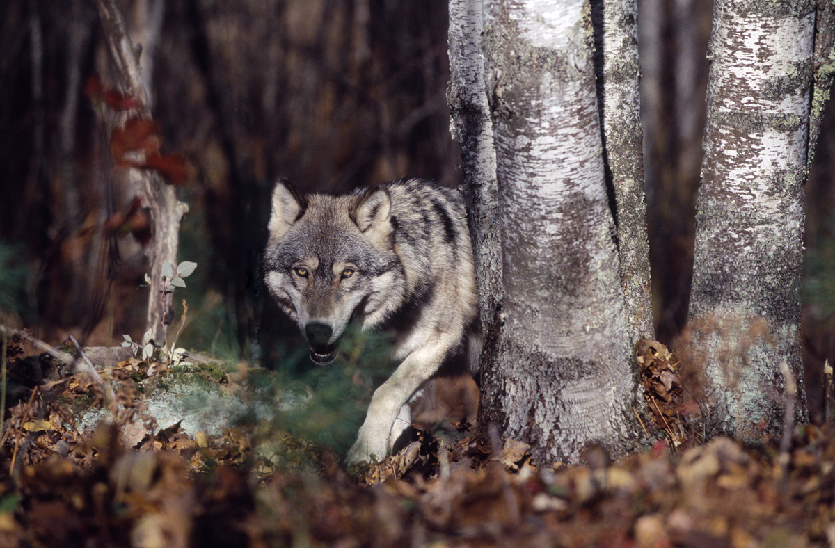 bigstock-Gray-Wolf-In-Forest-2865231
